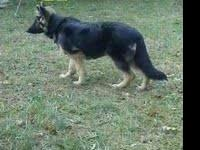 I have some AKC German shepherd Puppies expected soon.