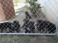 Adorable eight-week old AKC German shepherd puppies,