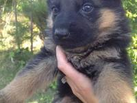 AKC German Shepherd puppies will be available to go to