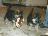 Excellent German Bred puppies available.  Parents