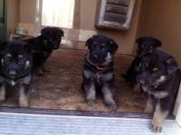 AKC German Shepherd Puppies, 4 males and 1 female, 6