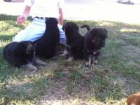 We have 4 males and 2 female German shepherd puppies