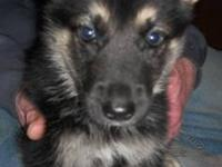 AKC German Shepherd puppies born 09/25/2013. They will