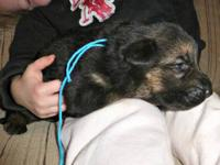 Akc German Shepherd babies, will be 6 weeks old Dec