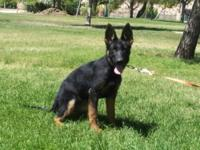 AKC Black/red German Shepherd Puppies Geck Di Casa