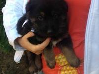AKC German Shepherd puppies are ready to be homed