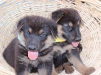AKC signed up GERMAN SHEPHERD PUPPIES. Grand Dam to