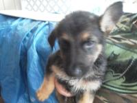 Ladies ... Black and Tan ... and Sable. 8 Wks. old ...