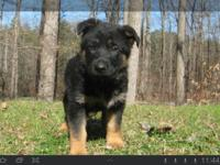 AKC German Shepherd puppies that come from superb