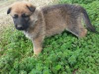 Beautiful AKC German Shepherd puppies. Will prepare