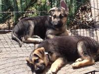 AKC GERMAN GUARD PUPS Blk & & Tan Males. We only have 2