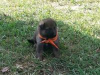 Gorgeous and healthy AKC German Guard puppies for sale,