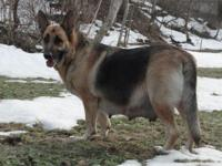 Presently taking deposits on AKC German Shepherd