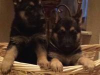Adorable Purebreed German Guard puppies 6 weeks aged,