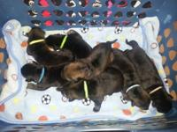 I presently have 8 pure bred German Shepherd puppies