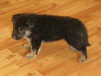 AKC German Guard puppies readily available that were
