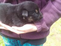 AKC German Shepherd puppies born upon May 23rd. We have