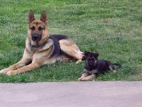 AKC German shepherd young puppies black&& tan, reveal &