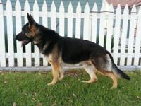 AKC Family raised German Shepherds. Sire is 115 pounds!