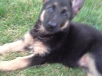 Only four young puppies left. 1 Saddle Black and Tan