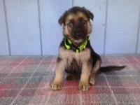 AKC German Shepherd Puppy's born 9-18-14. We have