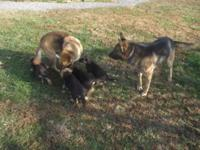 8 week old akc german shepherd young puppies with first