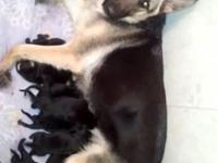 Hey there I have 9 german shepherd pups. Four males 5
