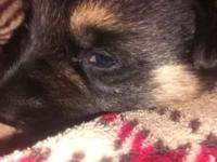 Lovable Black and Tan Puppies. Female or male. Proven
