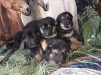 AKC German shepherd puppies readily available 3/1/15