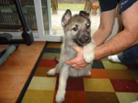 AKC GERMAN SHEPHERD PUPS RAISED WITH CHILDREN AND OTHER