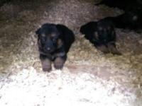 Now taking deposits on German Shepherd puppies. They