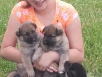 I HAVE 5 PUPPIES. 3 BLK/TAN FEMALES AND 2 SABLE MALES.