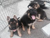 AKC registered. 3 male, 2 female German Shepherd