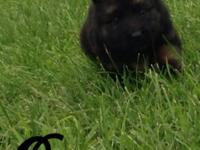 For Sale: AKC German Shepherd Puppies I am now taking