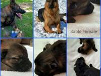 We have family raised german shepherd puppies for sale.