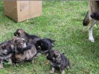 AKC German Shepherd pups, 4 males & 2 females ea. has