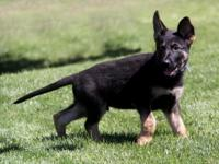 Exceptional Puppies available now. 100% German working