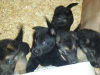 AKC German Shepherd puppies for sale. Four females and