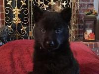 AKC Black and Bi-Color German shepherd puppies. They