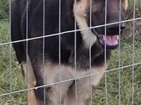 I have two AKC registered Male German Shepherd puppies
