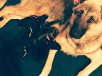 German shepherd puppies will be large boned very