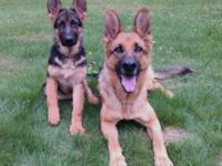 AKC German Shepherd puppies with 100% German bloodlines