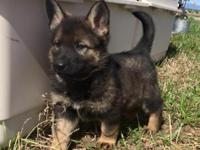 Amazing 8 week old German Shepherd female and male