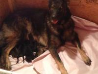 German Shepherd Puppies! Angel & Alexanders litter. Old