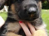 AKC registered German Shepherd puppies for sale,