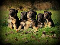Akc German Shepherd Puppies available. have 1 female 1