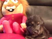 German Shepherd Puppies! Bella & & Wolfs trash. Old