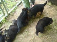 Adorable Black/Red puppies for sale. Not too intense.