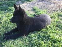 Champion bred AKC, WL, GSD, Czech, PzS Thousands