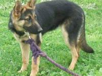 AKC Registered German Shepherd pups for-sale. One is